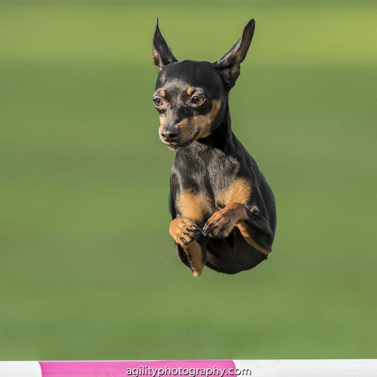 Miniature Pinscher - Dog Agility                                                                                                                                                      More