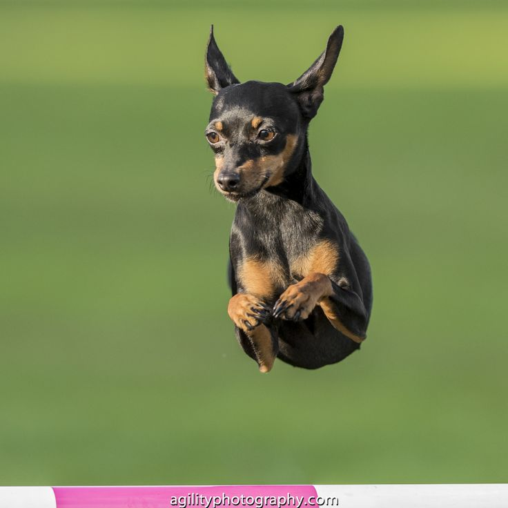 217 best images about Mini Pin - Miniature Pinscher on ...