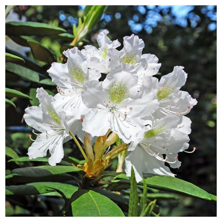 Azalea Irish Crème 1pc National Plant Network U.S.D.A