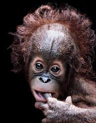 Esto es belleza! Un bebe orangutan