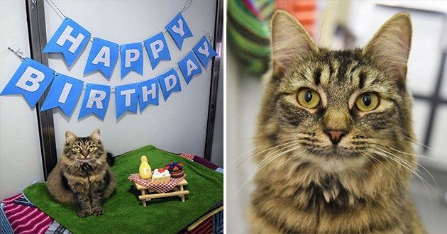 Birthday Blues Cat Searches For Forever Home After No One Came To Her Party In 2020 Cat Paws Cats Fun Facts About Lions