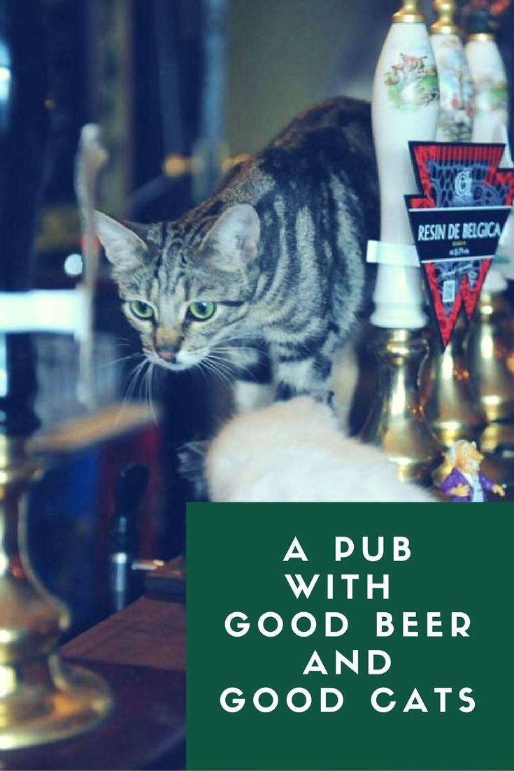 Looking for the best pubs in Bristol, England? Go to the Bag O' Nails, England's first cat pub. Click here to find out more about this pub with good beer and good cats: http://www.traveling-cats.com/2015/11/cats-from-bristol-england.html (best pubs Bristol, best pubs England, cats, good beer, good cats, cat pub, Bristol, England, pub, Bag O' Nails)