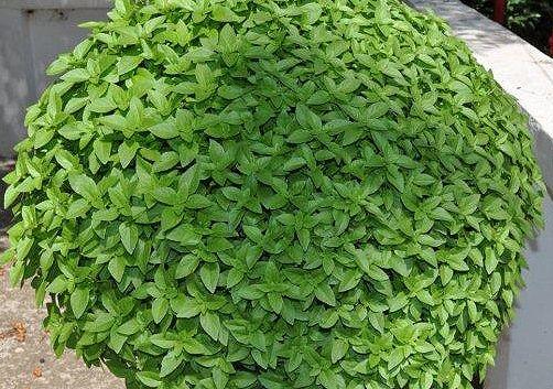 Ο βασιλικός γενικά χρησιμοποιείται στην κηπουρική, την αρωματοποιία, τη μαγειρική, τη ζαχαροπλαστική και σαν θεραπευτικό υλικό.Θεωρείται ότι είναι τονωτικό,διουρητικό και κατά της ζαλάδας και της νευρικής ημικρανίας. Σαν σαλάτα με λάδι  κατά της δυσκοιλιότητα.