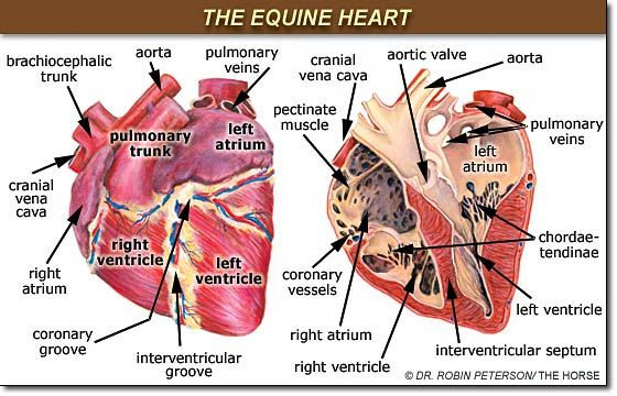 parts of a human heart and most common heart disease Heart abnormality birth defects  the blood may travel abnormally through the heart, or parts of  ventricular septal defect is the most common congenital heart.