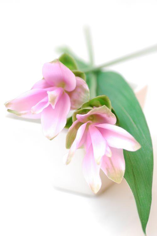 クルクマ シャローム ピンクhttp://hanaya87.com/library/flower/flmt366