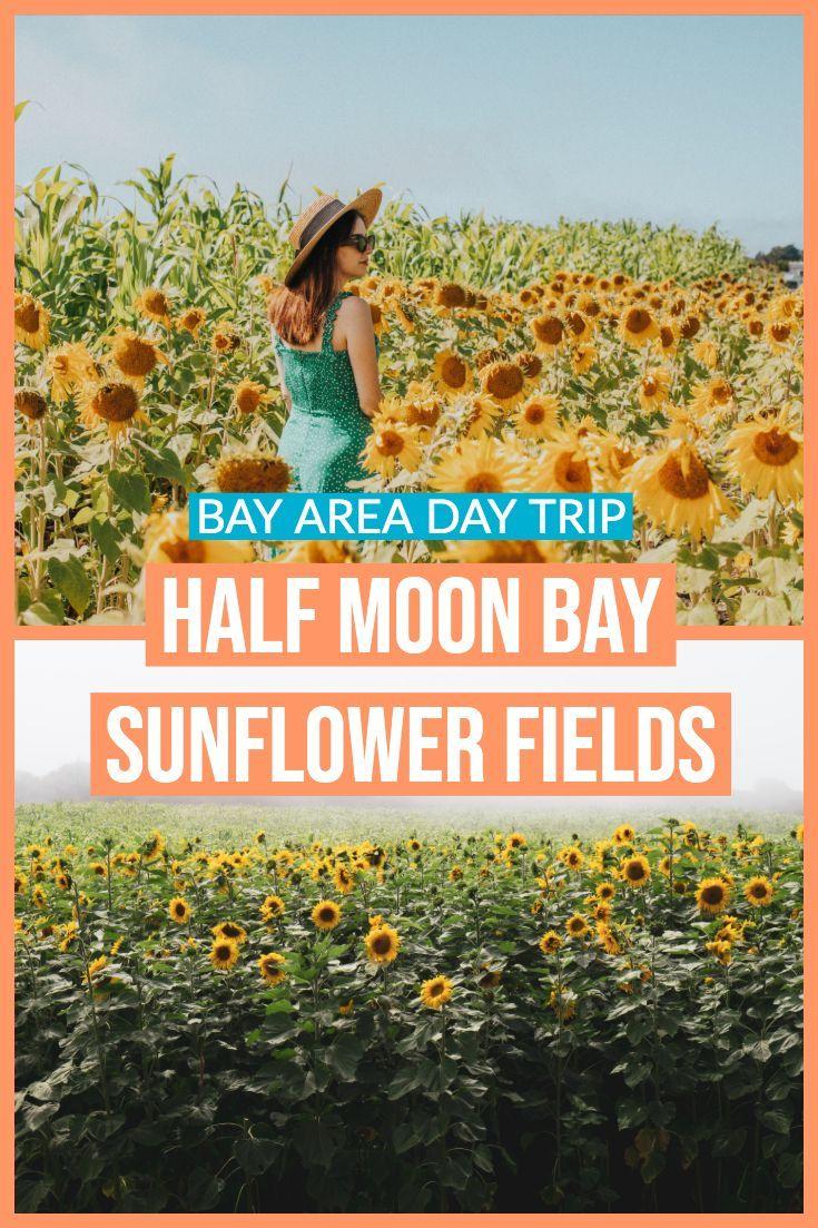 Bay Area Sunflower Fields In Half Moon Bay Bay Area Day Trip In 2020 Northern California Travel Bay Area Travel California Travel Road Trips