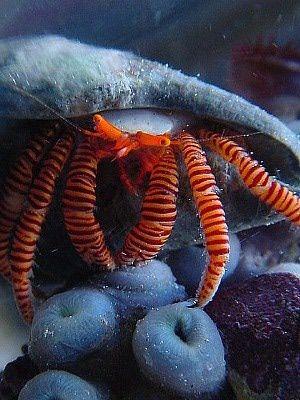 Reef Safe Hermit Crabs: Halloween Hermit Crab
