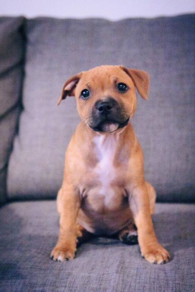 "Staffordshirebullterrier puppy ""Vally"""