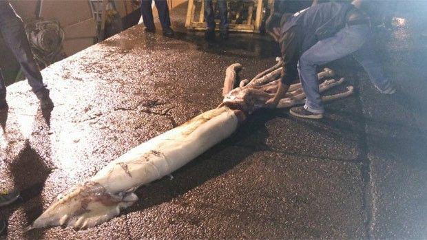 Lula gigante de 10 metros é capturada acidentalmente na Espanha Molusco marinho será examinado por especialistas da Cepesma. 'É um exemplar extraordinário', disse presidente do órgão, Luis Laria.