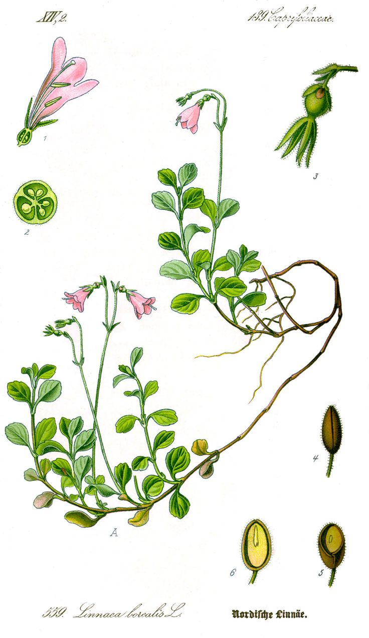 Illustration_Linnaea_borealis1.jpg 1,282×2,214 pixels
