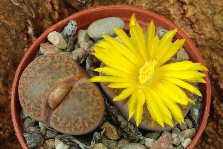 14 octobre 2015 - Lithops bromfieldii v. glaudinae C116  Famille : Aizoaceae  Collecteur : Desmond Thorne Cole. Localité : 70 kms à l'Ouest-Nord-Ouest de Griquatown, Afrique du Sud. Provenance : Uhlig Kakteen le 04/10/2014 N° de collection personnel : 443.
