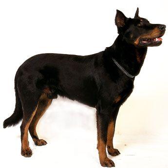 Beauceron - Large Dog Breed Profile