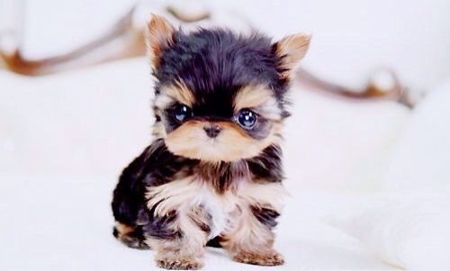 Teacup Yorkie cute animals adorable puppy animal pictures teacup yorkie