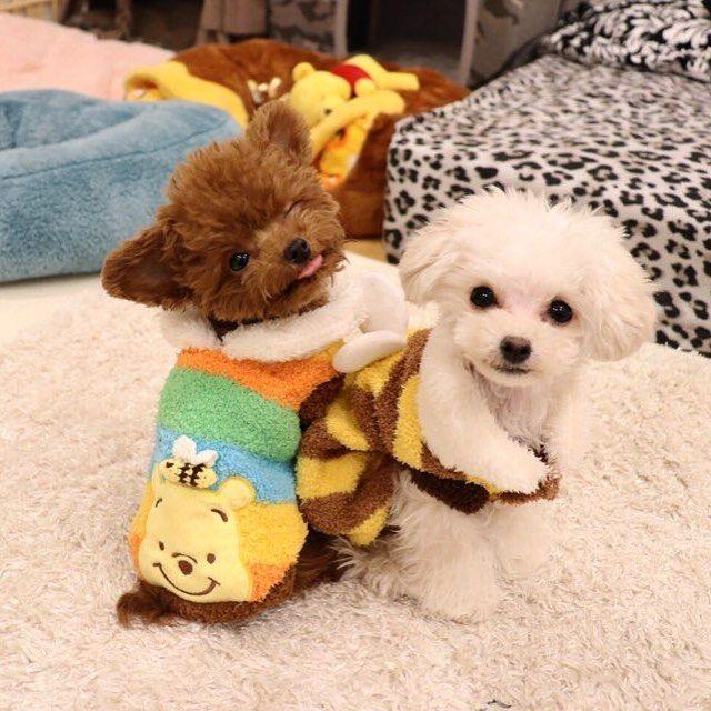 WEBSTA @ bibi_shasha - .😊 모닝한가로운듯 바쁜명절이네요모두들 새해복많이받으세요🙇🏻♀️끼부리는슈🐻🤣#펫파라다이스...#SHU #슈#캐릭터#character#TeddySHU#Teddybear#poodle#toypoodle#teacuppoodle#푸들#토이푸들