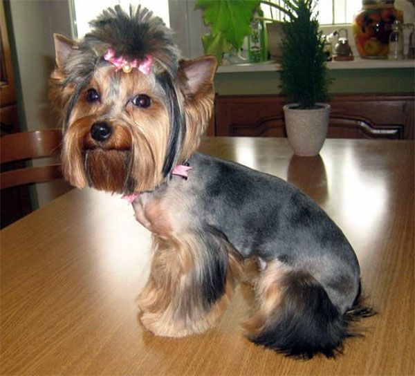 17 Best Yorkies With Full Tails Undocked Yorkies Images