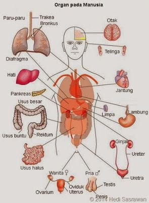 Organ Tubuh Manusia Beserta Fungsinya Jpg 295 400 Tubuh Manusia Anatomi Dan Fisiologi Sistem Tubuh Manusia