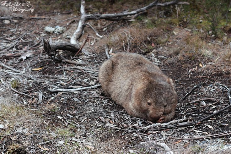 Cute little wild wombat who was just lying there, he didn't care about me being there at all!