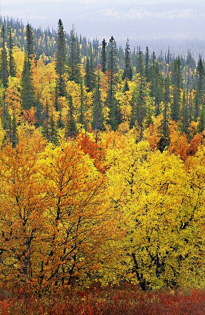 Autumn coloured forest in Lapland, Finland