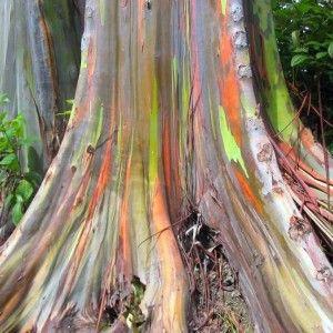 Vente en ligne de graines d'eucalyptus arc-en-ciel, une curiosité ornementale au tronc multicolore : son écorce se détache sans cesse pour dévoiler un tronc vert se colorant progressivement des teintes de l'arc en ciel, d'où son nom.