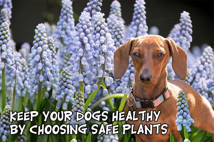 We suggest some of the following perennials that are non-toxic:  Bachelors Button (Cornflower, Bluebottle) Cinquefoil Coreopsis Day Lilies  Globe Thistle Jasmine Moss Phlox Roses Star Jasmine Strawberries If you're looking for bulbs, why not try:  Canna Lily Gloxina Grape Hyacinth Asiatic or Oriental Lilies Stargazer Lily Tiger Lily