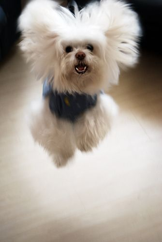 ...and we have lift-off... Dog ~ Bichon Frise