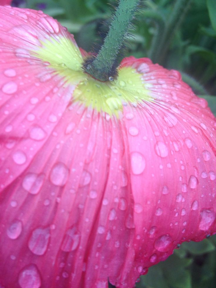 Iceland Poppy after the rain are so beautiful in my garden.