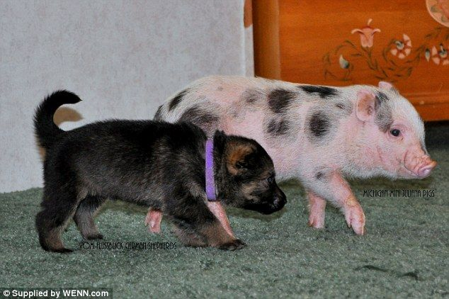 Meet the mini piglets and puppies who are happy to muck in together for playtime   Read more: http://www.dailymail.co.uk/news/article-2586653/Will-friend-Meet-mini-piglets-puppies-happy-muck-playtime.html#ixzz2wiJQpX2T  Follow us: @MailOnline on Twitter | DailyMail on Facebook