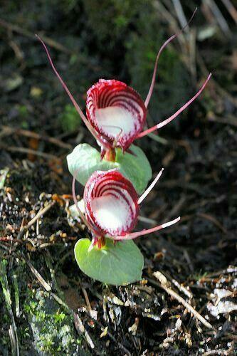Orquídeas rasteiras