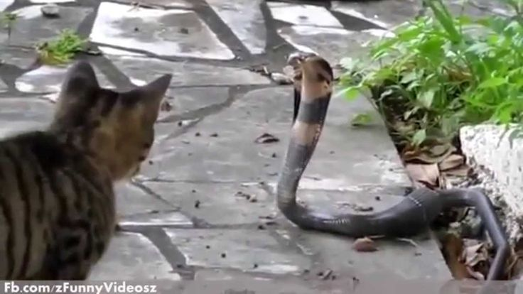 Funny Cats Video   Top Funny Cats vs Snakes