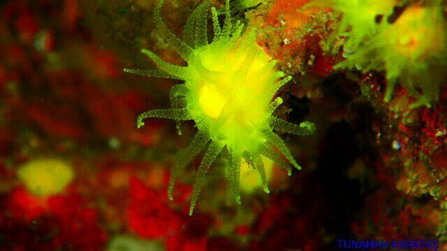 Sarı mercan#scuba #diving #scubadiving #huzur #derinlerde #underwarter #underwaterphotography #ebcousto #Coustodive #egebarakuda