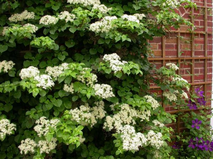 14 Best Images About Hydrangeas On Pinterest Trees And