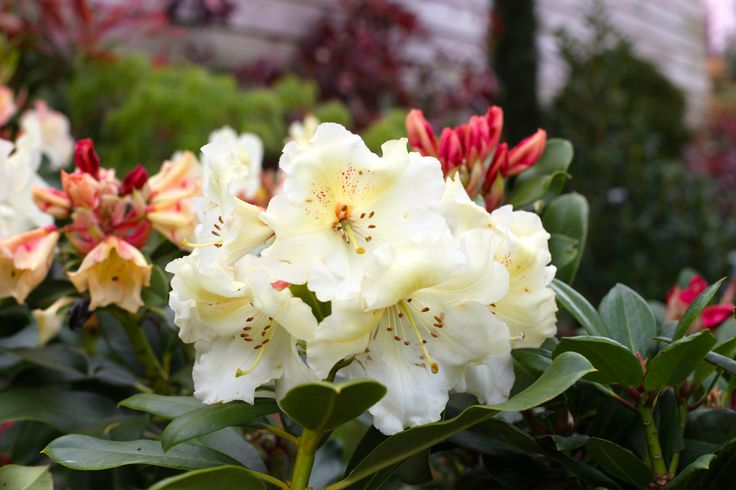 Rhododendron 'Horizon Monarch' - Really beautiful yellow flowers produced with such freedom. Flowers May to June. Prefers full/partial shade. Water thoroughly before planting. www.thepavilion.ie