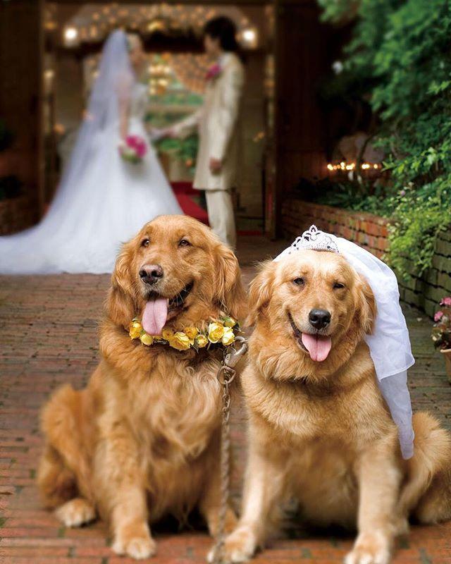 お二人の愛犬がエントランスで ゲストのお迎えを一緒にお手伝い🐶 夢を現実に・・・💕 ー ぶどうの木の下で結ばれたふたりは幸せになれる ー  西洋の言い伝えをそのまま実現した、海と森のウェディング。 . . ぶどうの樹ウェディング Official Website http://budounoki-wedding.jp/ . . . @budounoki__fukutsu @budounoki_fukutsu_wedding #wedding  #weddingparty  #photo  #photography #photowedding  #ぶどうの樹  #ぶどうの樹wedding  #福岡  #岡垣  #福津  #筑豊  #北九州花嫁  #結婚式  #森のウェディング  #ナチュラルウェディング  #オリジナルウェディング  #美味しい料理結婚式  #フォトウェディング  #前撮り  #愛犬  #プレ花嫁  #リングドッグ  #ガーデン  #ゴールデンレトリバー #igersjp#instagram