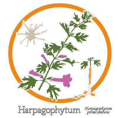 Harpagophytum -Plante, fleur et fruit. Soulager les articulations - uptimoi