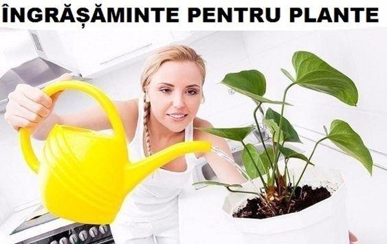 Secretul plantelor viguroase este simplu: trebuie doar să le oferim nutrienți. De altfel, nu vom avea nici plante bogate, nici frumos colorate. Atunci când o perioadă îndelungată nu oferiți plantelor substanțe nutritive, acest fapt poate duce la îmbolnăvirea lor, deoarece planta nu are putere să lupte. În continuare vă propunem un șir de sfaturi cum să oferiți îngrășăminte naturale în funcție de plantă și de perioada în care se află. 1. Majoritatea plantelor esteamatoare de zahăr, iar…