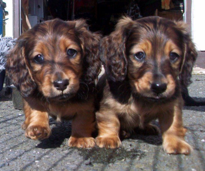 Dachshund puppies miniature longhaired united kingdom