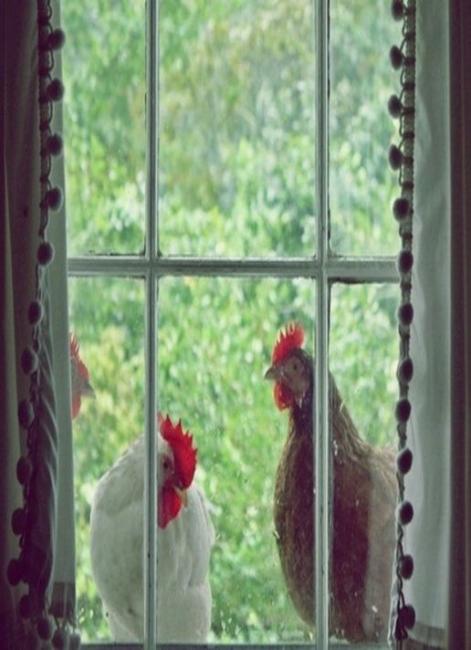 Roosters at the window
