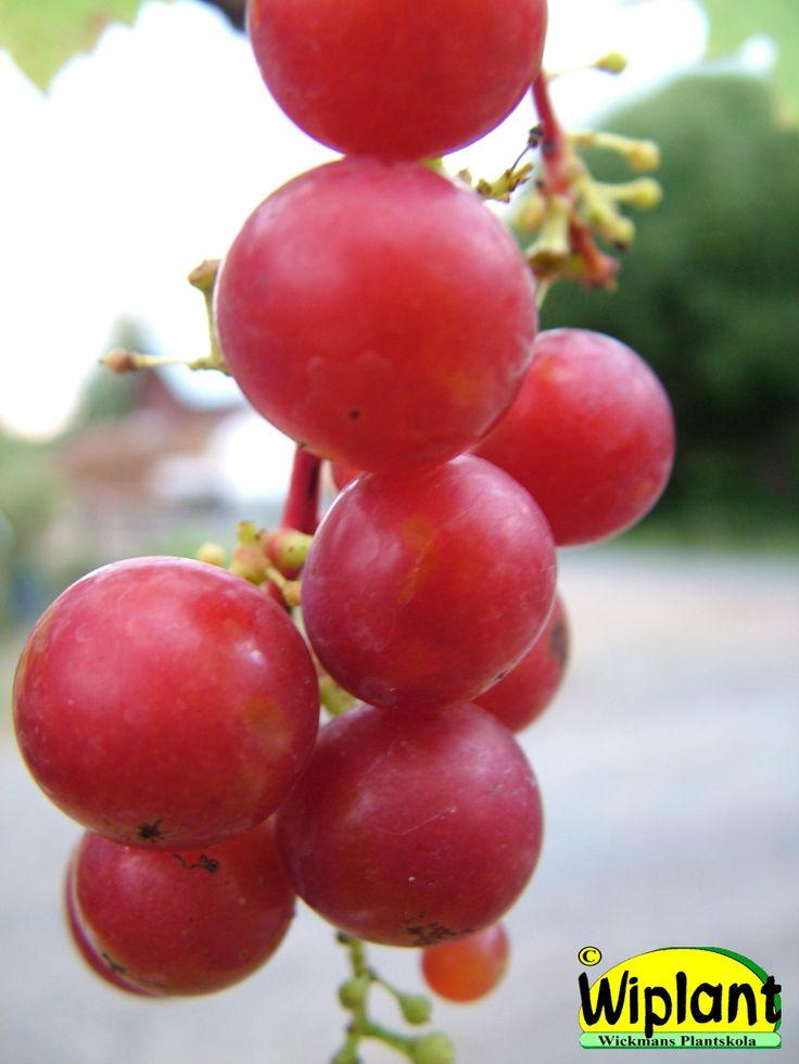 Vitis 'Guna', vinranka. Lettiska kalljordsvin, härdighet rätt god. Kan odlas utomhus på varm plats. Röda söta druvor, behöver pollinerare. Obs! Sur jord (pH=5,5).