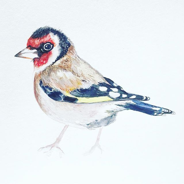 Mr Goldfinch. Who woke me up at 5am this morning chatting outside my window. Summer is here. #tweettweet #illustration #watercolour #inspiration #birds #birdsofireland #ireland #dublin #fabriano #windsorandnewton #art #irishart #sketch #illustratorsofinstagram #animalillustration #nature #louisenaughton #birdlovers #birdlife #summer #goldfinch #lovedublin #irish #irishart