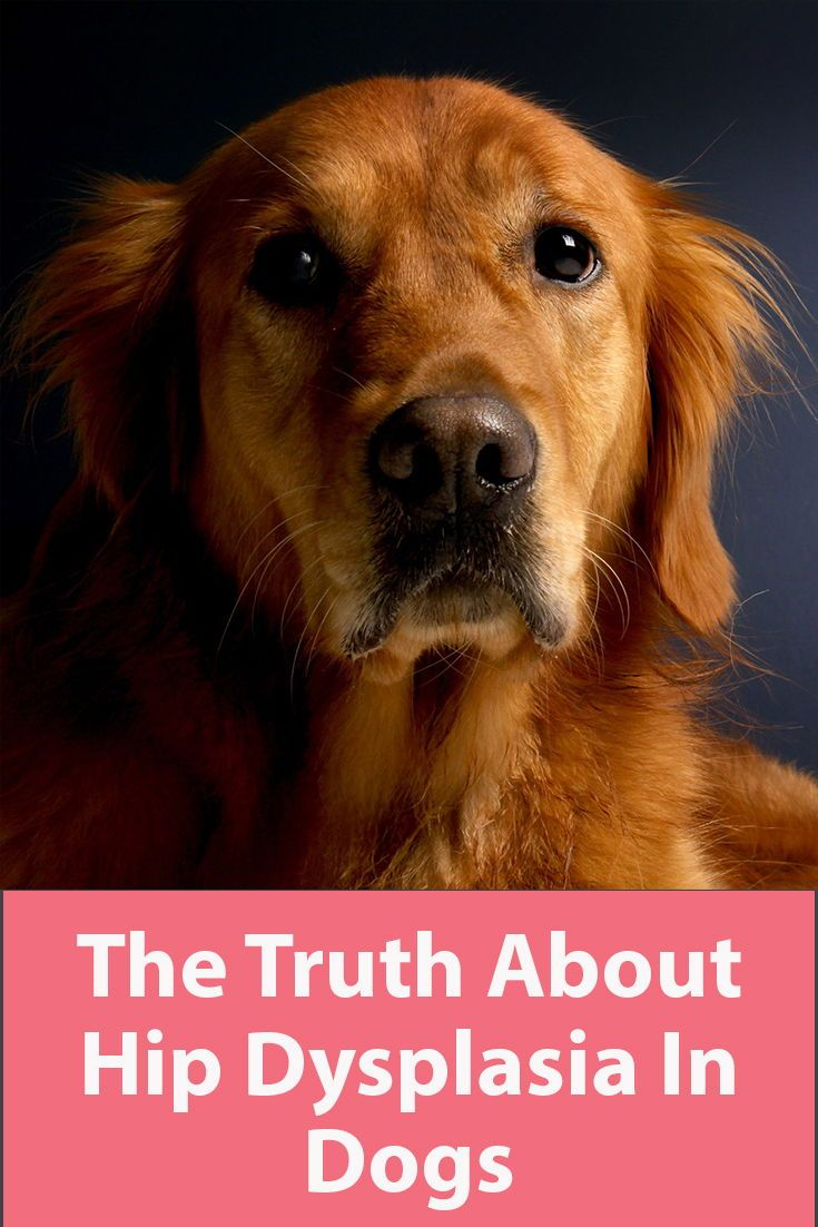 The Truth About Hip Dysplasia In Dogs Dogs Golden Retriever