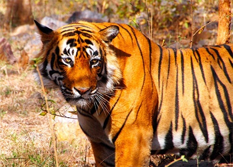 India Says Wild Tiger Population Up by 15%, But Some Doubt the Accuracy of that Number