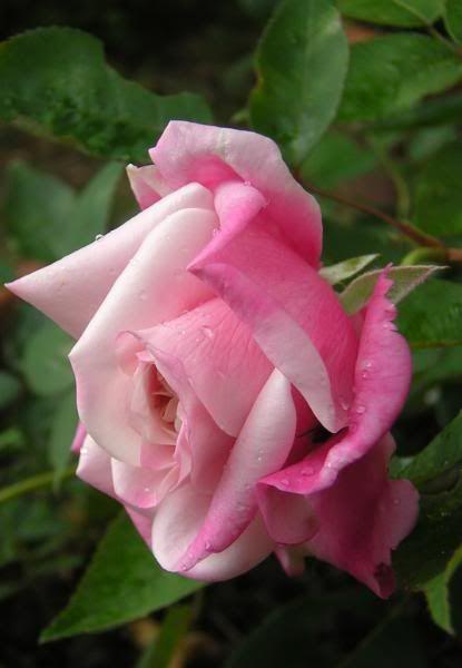 Madame Antoine Mari est un rosier à fleurs doubles, en forme de coupe, pendantes, parfumées. Elles se teintent de rose évanescent avec le revers des pétales plus rose lilas. Arbuste florifère à la floraison est remontante. Thé. Mari, 1895.
