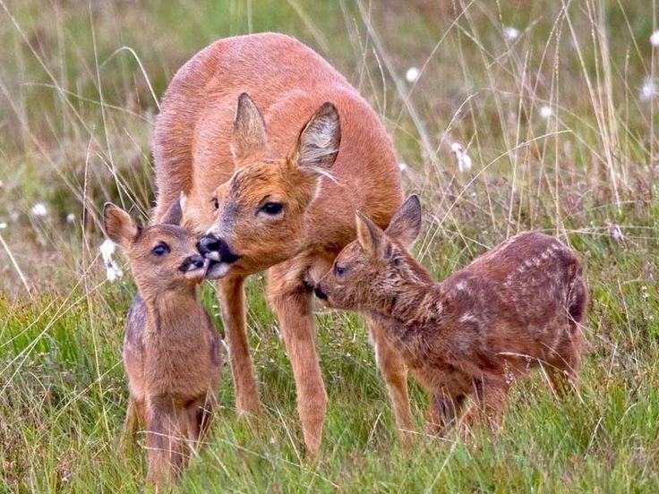 Deer Gallery, Deer pics, Deer photos, Deer pictures, Deer photography, Deer images