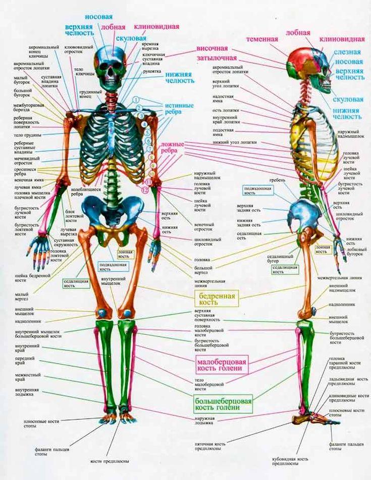 Анатомия скелет человека в картинках с описанием, открытка днем