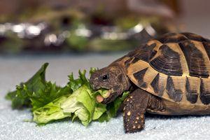 Hermanns Tortoises For Sale