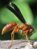 Red Wasps and Yellow Jackets