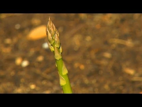 All there is to Know about Asparagus Plants | P. Allen Smith discusses the  asparagus