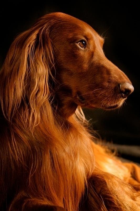 Irish Setter Dog, posted via travel-up-hotels.com