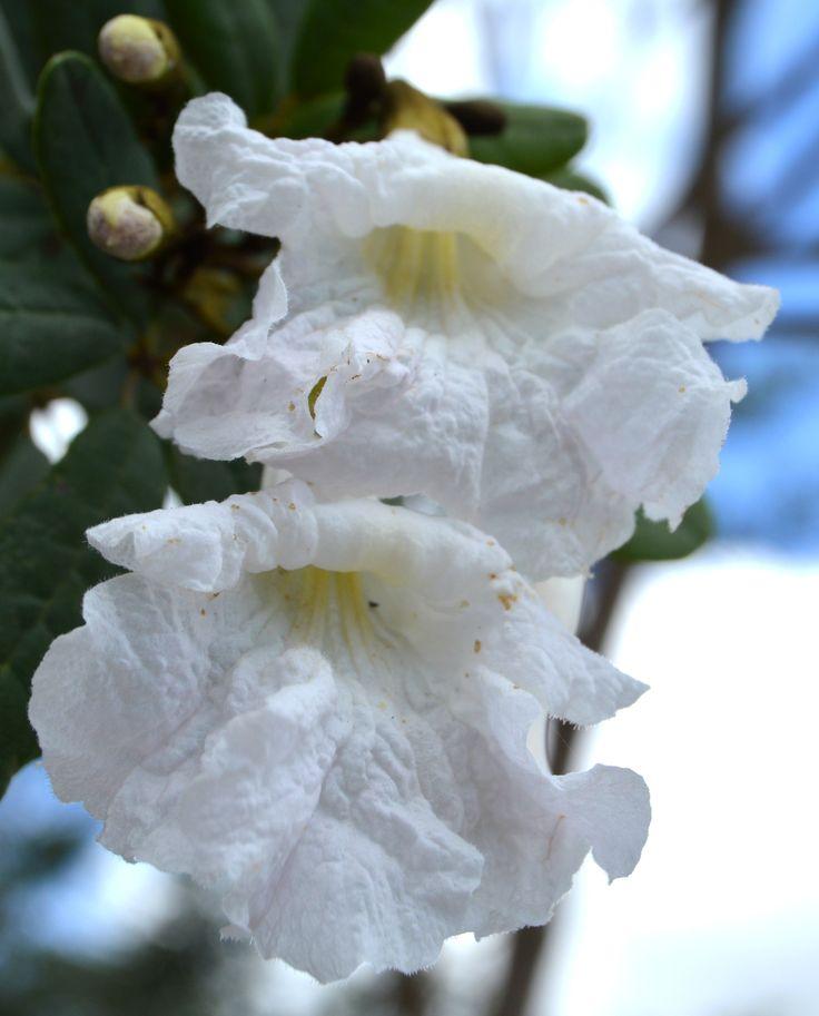 Tabebuia bahamensis