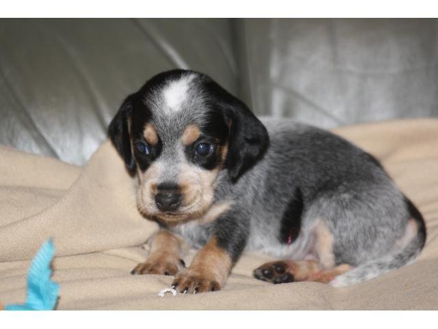 blue tick beagle puppies for sale | Zoe Fans Blog